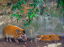 Red river hogs Stock Image