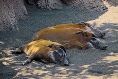 Red river hogs in shadow. Three wild animals - red river hogs species: Potamochoerus porcus pictus, are sleeping in shadow of rocks stock photos