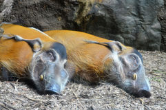 Red River Hogs. Sleeping in the dirt Stock Photography