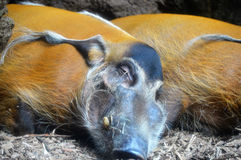 Red River Hogs. Sleeping in the dirt Stock Images