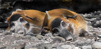 Red river hogs 1 Royalty Free Stock Photography