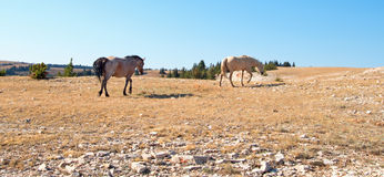 Red Road Wild Stallion and his Palomino Mare in the Pryor Mountain Wild Horse Range in Montana Stock Photography