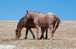 Red Roan Band Stallion with his Bay Mare on Sykes Ridge in the Pryor Mountains Wild Horse Range on the Wyoming Montana state line Royalty Free Stock Photos