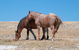 Red Roan Band Stallion with his Bay Mare on Sykes Ridge in the Pryor Mountains Wild Horse Range on the Wyoming Montana state line Royalty Free Stock Images