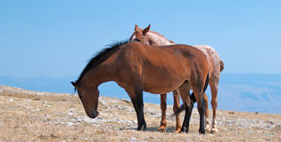 Red Roan Band Stallion with his Bay Mare on Sykes Ridge in the Pryor Mountains Wild Horse Range on the Wyoming Montana state line Stock Image