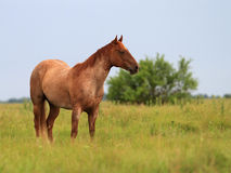 Red Roan Gelding. A red roan Quarter Horse gelding standing in a lush green pasture Stock Photography