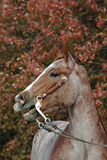 Red roan horse. Red roan Quarter horse against Autumn leaves with mouth open Royalty Free Stock Photos