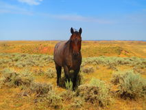 Red Roan mare Royalty Free Stock Images