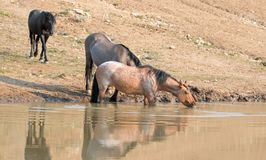 Red Roan mare reflecting in the water while drinking in the Pryor Mountains Wild Horse Range in Montana USA Royalty Free Stock Image
