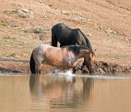 Red Roan mare wild horse reflecting in water while splashing at waterhole in the Pryor Mountains Wild Horse Range in Montana USA Stock Images