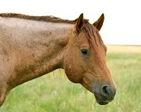 Red Roan Stallion. Head shot of red roan quarter horse stallion stock photo