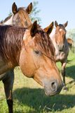 Red roan stallion. Head shot of red roan quarter horse stallion stock images