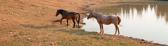 Red Roan Stallion and Bare Mare wild horses at waterhole in the Pryor Mountains Wild Horse Range in Montana USA Royalty Free Stock Photo