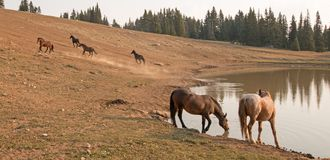 Red Roan Stallion and Bare Mare wild horses at waterhole in the Pryor Mountains Wild Horse Range in Montana USA Stock Image