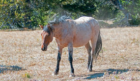 Red Roan Stallion wild horse dusting off after rolling in the dirt in the Pryor Mountain Wild Horse Range in Montana Royalty Free Stock Images