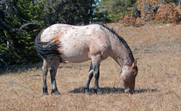 Red Roan Wild Stallion grazing in the Pryor Mountain Wild Horse Range in Montana Royalty Free Stock Photography