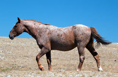Red Roan Wild Stallion mustrang in the Pryor Mountain Wild Horse Range in Montana. USA Royalty Free Stock Photography