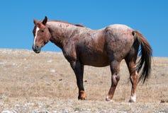 Red Roan Wild Stallion mustrang in the Pryor Mountain Wild Horse Range in Montana Royalty Free Stock Photos