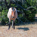 Red Roan Wild Stallion mustrang in the Pryor Mountain Wild Horse Range in Montana Stock Images