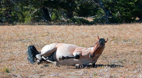 Red Roan Wild Stallion rolling in the dirt in the Pryor Mountain Wild Horse Range in Montana Stock Photo