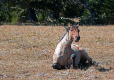 Red Roan Wild Stallion rolling in the dirt in the Pryor Mountain Wild Horse Range in Montana Stock Photos