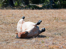 Red Roan Wild Stallion rolling in the dirt in the Pryor Mountain Wild Horse Range in Montana Royalty Free Stock Photo
