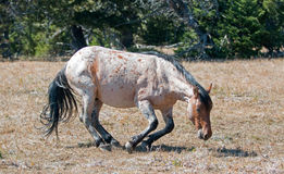 Red Roan Wild Stallion about to roll in the dirt in the Pryor Mountain Wild Horse Range in Montana Royalty Free Stock Image