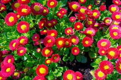 Red Rob Roy daisy cluster in garden Stock Photography