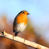 Red robin Royalty Free Stock Image