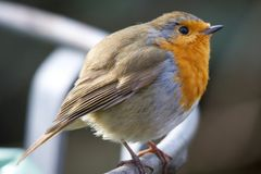 Red Robin Stock Image