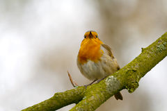 Red Robin. Singing a song on a branch Stock Photo
