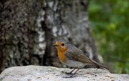 red robin Obraz Royalty Free