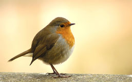 Red Robin. On wall Royalty Free Stock Photography