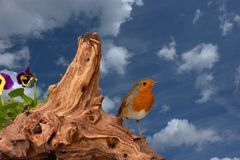 Red robin against blue sky royalty free stock images