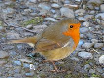 Red Robin On A Bed Of Rocks stock photo