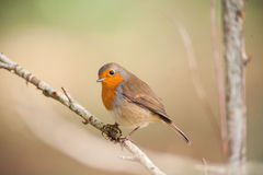 Red robin bird on a branch Royalty Free Stock Image