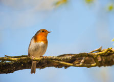 Red robin bird perched in the shade Royalty Free Stock Photo