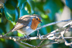 Red robin bird resting in a tree Royalty Free Stock Images