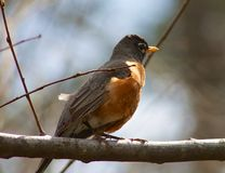 Red Robin on a branch. Close-up of a red robin taken in a park in Little Rock, AR stock photography