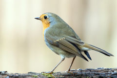Red robin on a branch. Stock Photography
