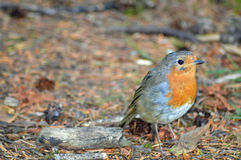 Red Robin. Close shot of Wild Red Robin in woodland royalty free stock photo