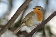 Red robin on diagonal perch. Robin in red winter colours sits on perch in uk woodland royalty free stock image