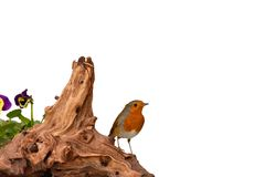 Red robin on driftwood isolated on white royalty free stock photos