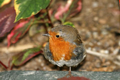 Red Robin, Erithacus rubecula Stock Photo