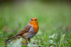 Red robin. (Erithacus rubecula) foraging on the ground between the green grass. This singing bird often lives in gardens Royalty Free Stock Photo