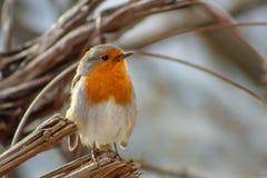 Red Robin Erithacus rubecula, small posing bird.