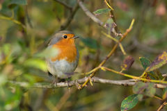 Red robin. European robin sitting on a branch Royalty Free Stock Photography