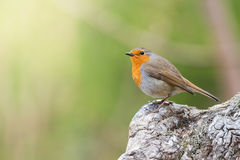 Red robin with green background Royalty Free Stock Photography