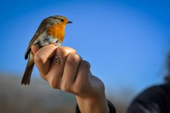 Red robin in the human hand stock photography