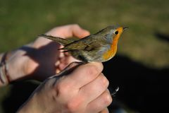 Red robin in the human hand royalty free stock photography